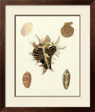 Knorr Shells II Prints by George Wolfgang Knorr