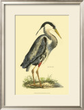 Great Blue Heron Poster by Prideaux John Selby