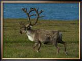 Alaskan Caribou Framed Giclee Print by Charles Glover