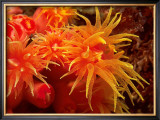 Orange Anemone, Ito Sea Posters by Charles Glover