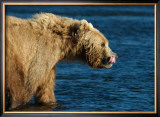 Kodiak Bear Lick Framed Giclee Print by Charles Glover