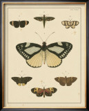 Heirloom Butterflies II Posters by Pieter Cramer