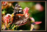 Red Admiral Framed Giclee Print by Antonia Illsley