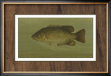 Rock Bass Poster by Harris 