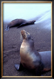 Stretching Seal, Galapagos Art by Charles Glover