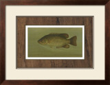 Rock Bass Print by Harris 