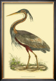 Purple Heron Prints by Prideaux John Selby