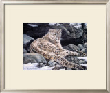 Awake Snow Leopard Poster by Alan Sakhavarz