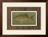 White or Silver Bass Poster by Harris 