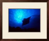 Sea Manta Burst Framed Giclee Print by Charles Glover