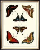 Butterflies II Poster by Pieter Cramer