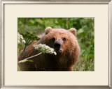 Alaska Spring Kodiak Bear Framed Giclee Print by Charles Glover