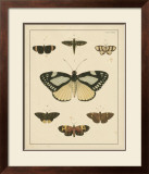 Heirloom Butterflies II Prints by Pieter Cramer