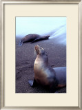 Stretching Seal, Galapagos Prints by Charles Glover
