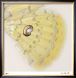 Butterfly Study 12 Limited Edition Framed Print by Claude Peschel Dutombe