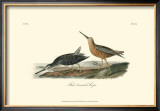 Red-Breasted Snipe Print by John James Audubon