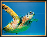Green Sea Turtle Framed Giclee Print by Theresa Young