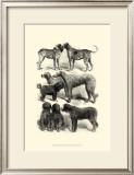 International Show Dogs I, c.1863 Print by Harrison Weir