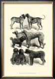International Show Dogs I, c.1863 Posters by Harrison Weir