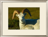 Dahl Sheep Framed Giclee Print by Charles Glover