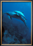 Mother and Baby Dolphins Prints by Charles Glover