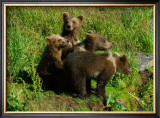 Alaska Kodiak Bear Cubs Framed Giclee Print by Charles Glover