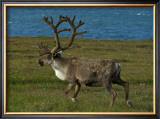 Alaskan Caribou Framed Giclee Print by Charles Glover