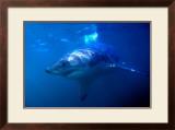 Great White Shark on Ocean Patrol Art by Charles Glover