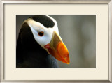 Alaska Puffin Wisdom Framed Giclee Print by Charles Glover