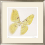 Butterfly Study 11 Limited Edition Framed Print by Claude Peschel Dutombe