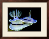 Blue Nudibranch, Glorious Sulawesi Posters by Charles Glover