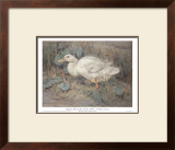 White Duck Print by Edwin Alexander