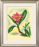 Plumeria Framed Giclee Print by Ted Mundorff