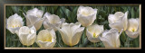 Eleven White Tulips Prints by Edward Loedding