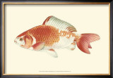 Common Goldfish Posters by S. Matsubara