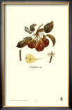 Pear, Bellifsime d'Ete Art by Francois Langlois