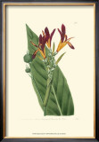 Antique Canna IV Prints by  Van Houtt