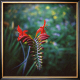 Crocosmia Limited Edition Framed Print by Rebecca Tolk