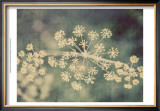 Queen Ann's Lace I Poster by Meghan McSweeney