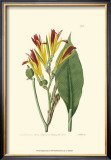 Antique Canna I Posters by Van Houtt 