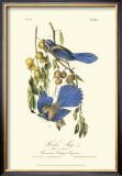 Florida Jays Prints by John James Audubon