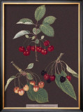 Cherries Posters by George Brookshaw