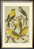 Pet Songbirds III Poster by  Cassel