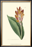 Antique Canna III Poster by Van Houtt 