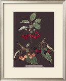 Cherries Poster by George Brookshaw