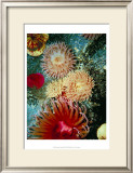 Graphic Sea Anemone III Prints