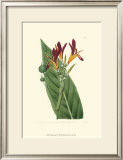 Antique Canna IV Art by  Van Houtt