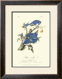 Blue Jays Poster by John James Audubon