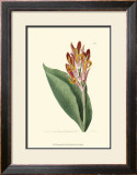 Antique Canna III Print by Van Houtt 