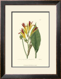 Antique Canna I Poster by Van Houtt 